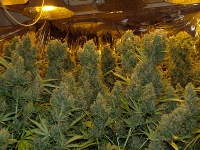chinese grow op cannabis plants marijuana