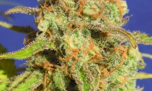 New USA West Coast Strains – Autoflowering Varieties
