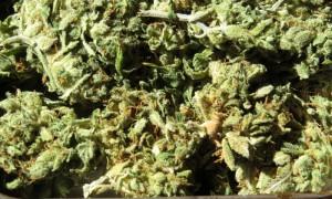 "New Study Counters Cannabis ""Gateway"" Theory"