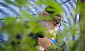 Life of a cannabis farmer