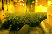 cannabis growlights