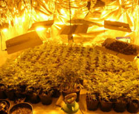 chinese cannabis grow factory