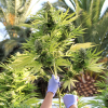 Chileans grow own medical marijuana as weed ban loosens