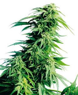 hindu kush marijuana seeds afghan sensi