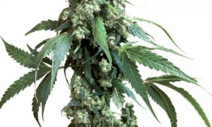 Jack Flash #5 Feminised – Sensi Seeds