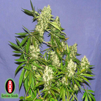 kali mist serious seeds cannabis