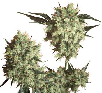 bob marleys collie cannabis seeds strain sensi