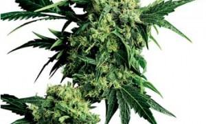 Drug Policy Alliance Releases Videos of Three Marijuana Symposia in California