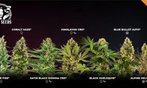 7 new Sensi Seeds strains for you to enjoy, chosen by our cannabis community!