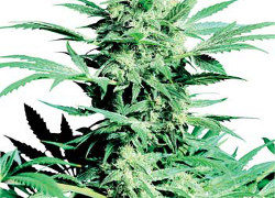 Shiva Skunk Feminised – Sensi Seeds