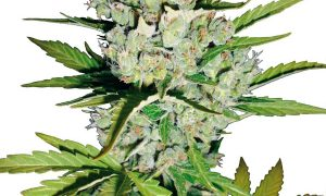 Super Skunk Automatic – White Label Seeds