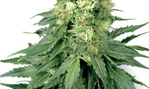 White Widow Feminised – White Label Seeds
